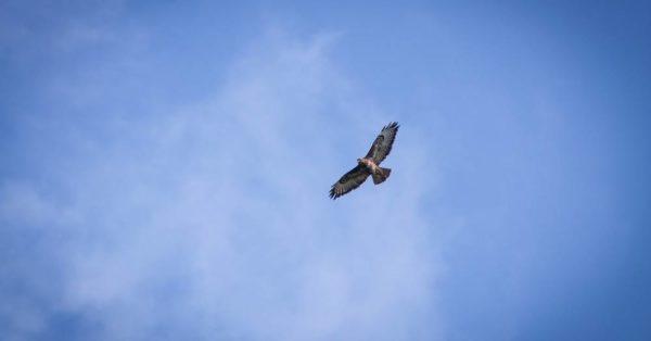 Hen harrier in flight