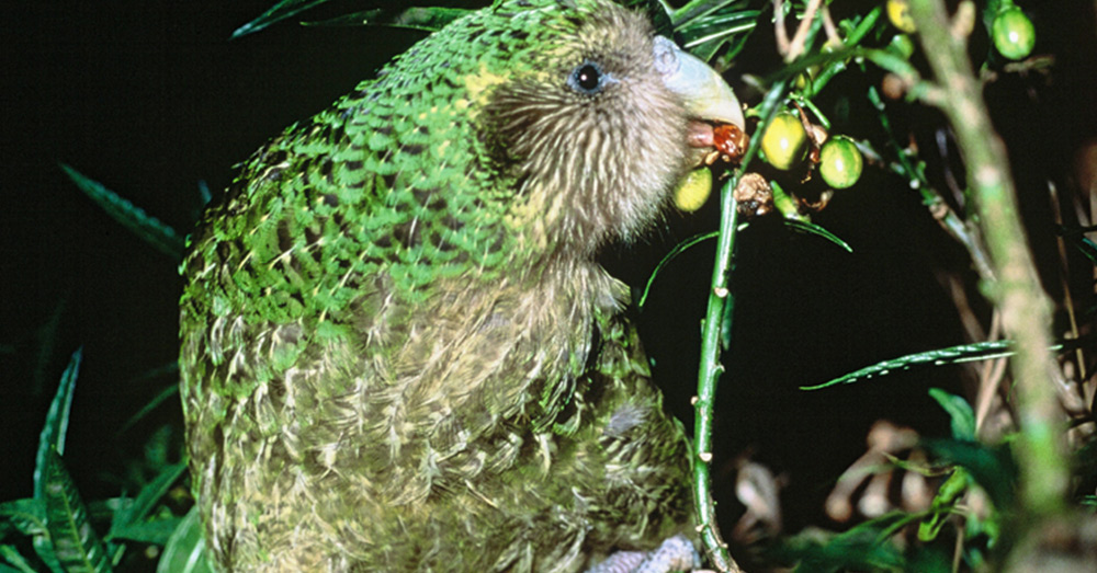 The Kākāpō is New Zealand's 2020 bird of the year.