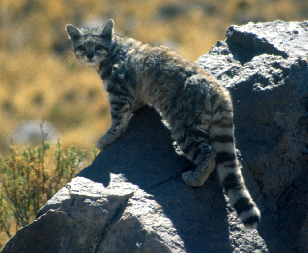Andean cats are threatened by ranchers who kill them to protect their livestock.