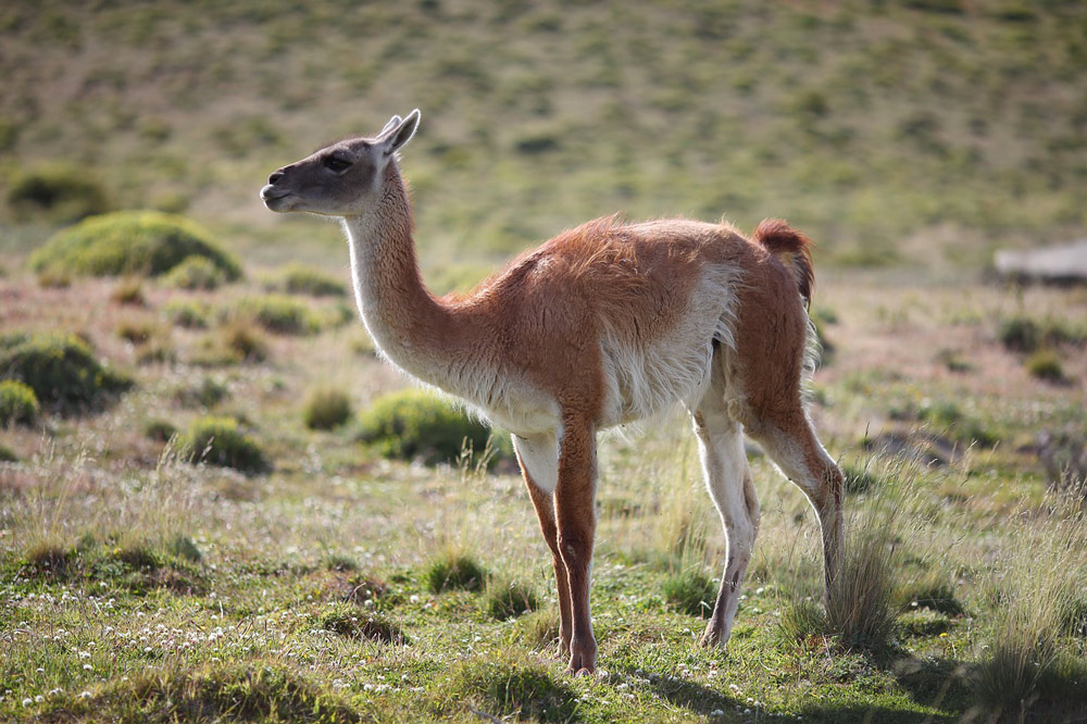 Guanacos, a type of South American llama, migrate throughout Argentina.