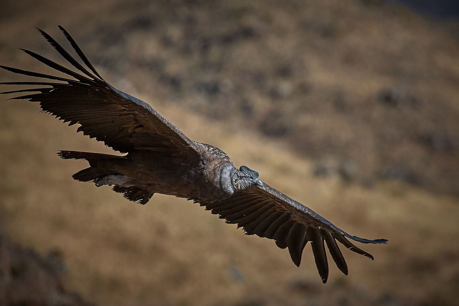 Andean condor make their homes in the mountains.