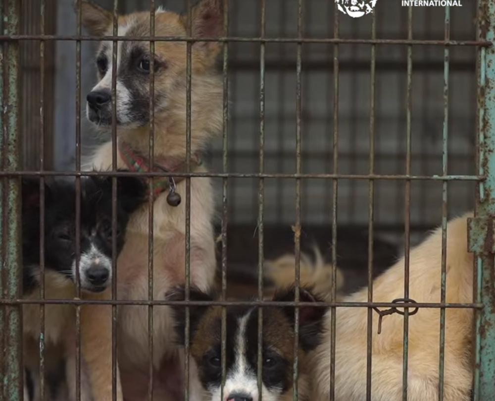 Millions of dogs are still caged in dog meat farms across Asia.