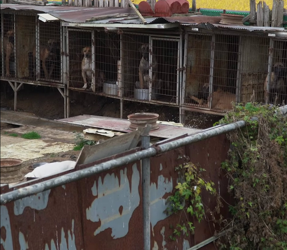 Humane Society International rescued 196 dogs from a dog meat farm in South Korea.