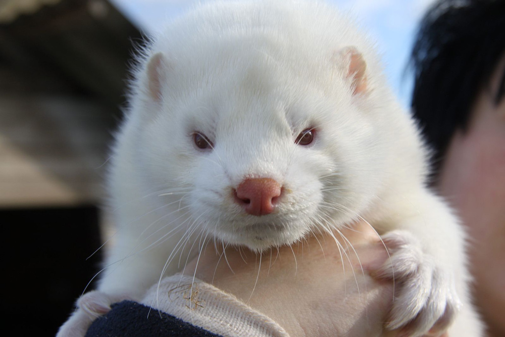 Minks in Utah have also been found with the COVID-19 virus.