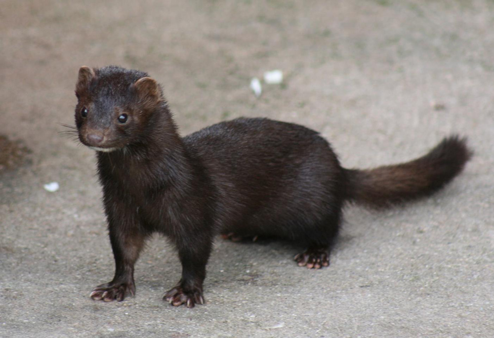 The Danish government intends to culll millions more mink to stop the spread of COVID-19.