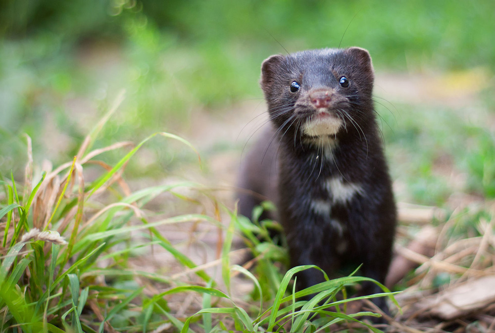 Denmark is the world leader in breeding mink for the fur industry.