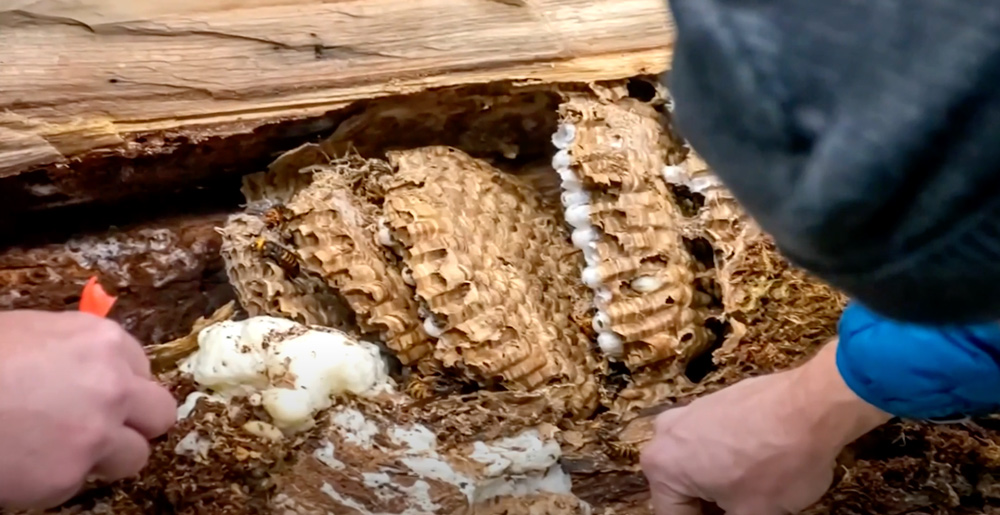 A recently discovered hornet nest contained 200 queens.