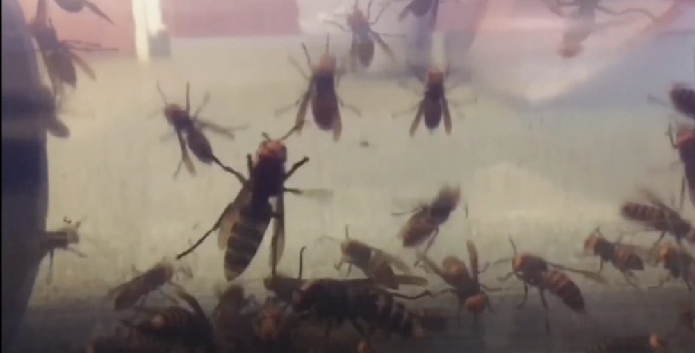 These hornets can decimate a honeybee hive in hours.