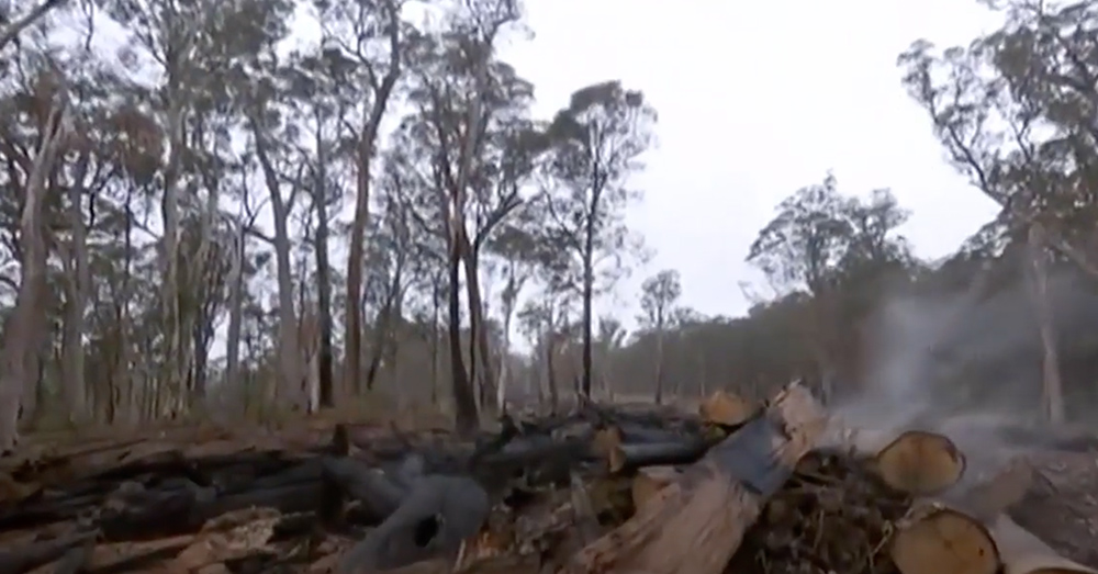 Bushfires and deforestation have destroyed much of the gliders' habitat.