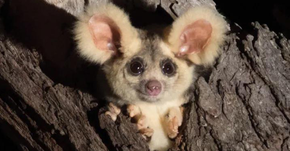 Gliders are small marsupials that live in Australia.