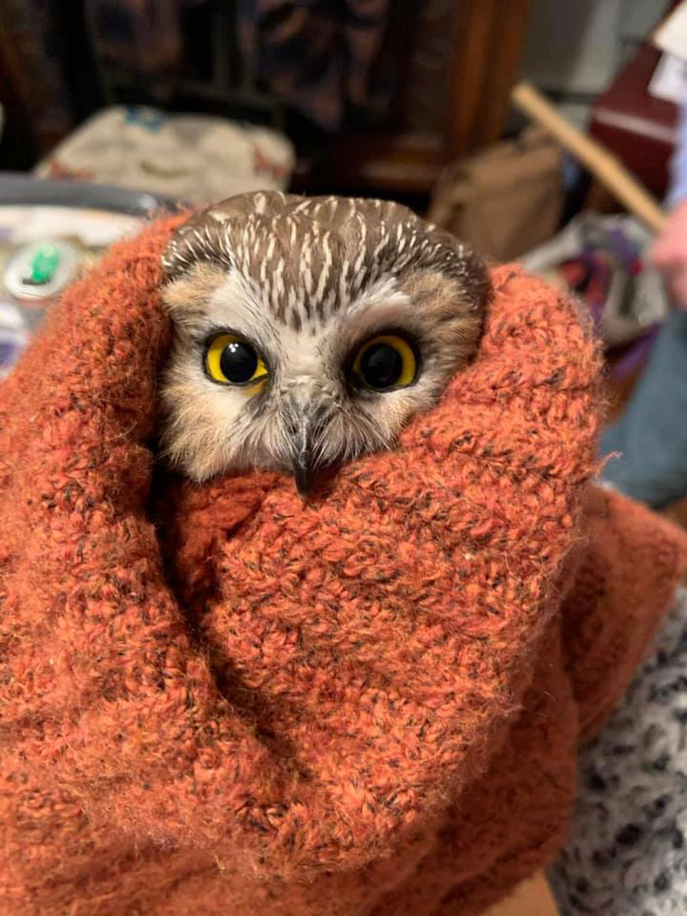 The saw-whet owl is the smallest type of owl in the northeast United States.