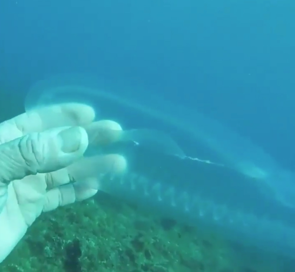 Sea salps are nearly invisible under water.