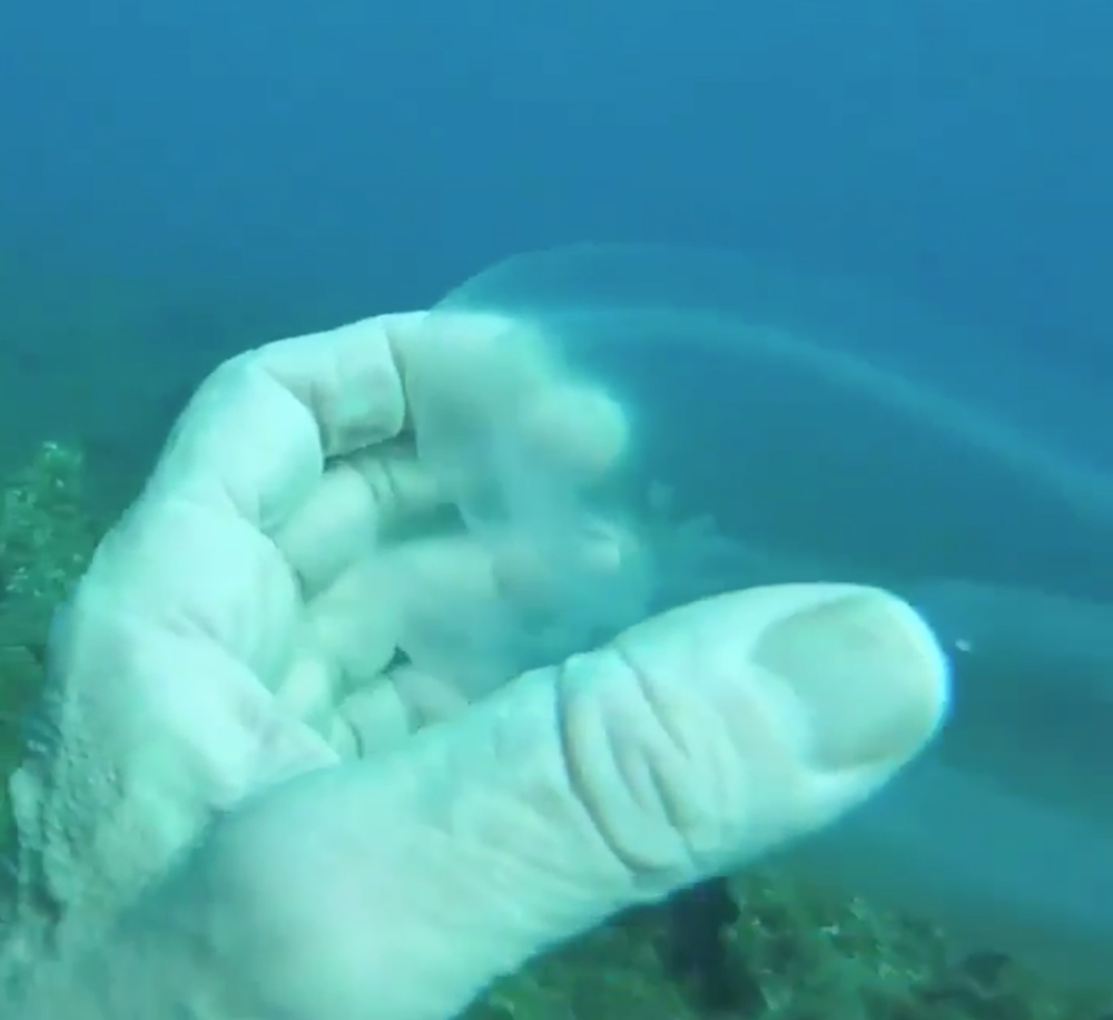 This diver discovered an adult sea salp.