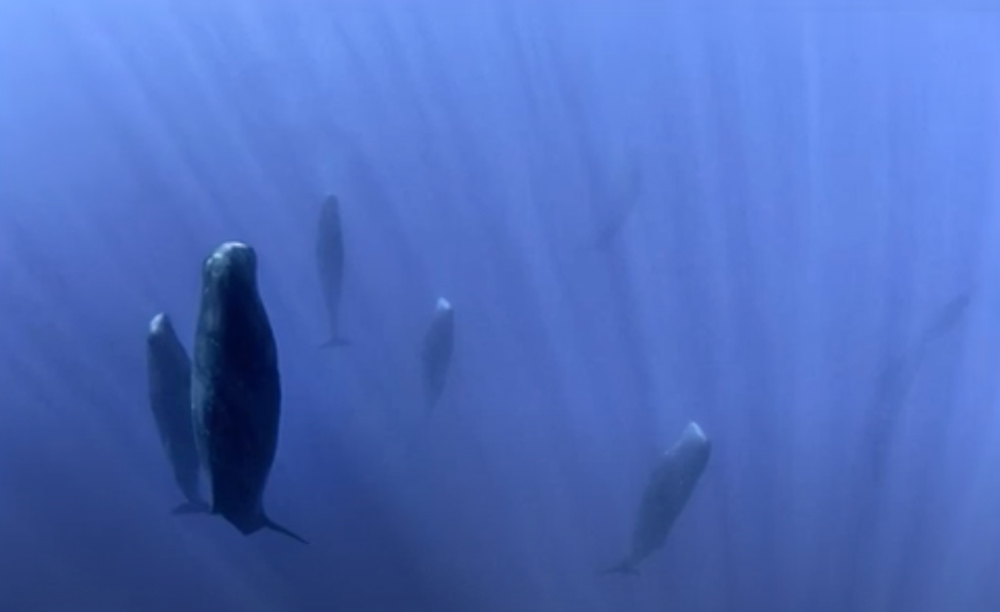Sperm whales may travel in pods comprised of as many as 20 mothers and their ofspring.