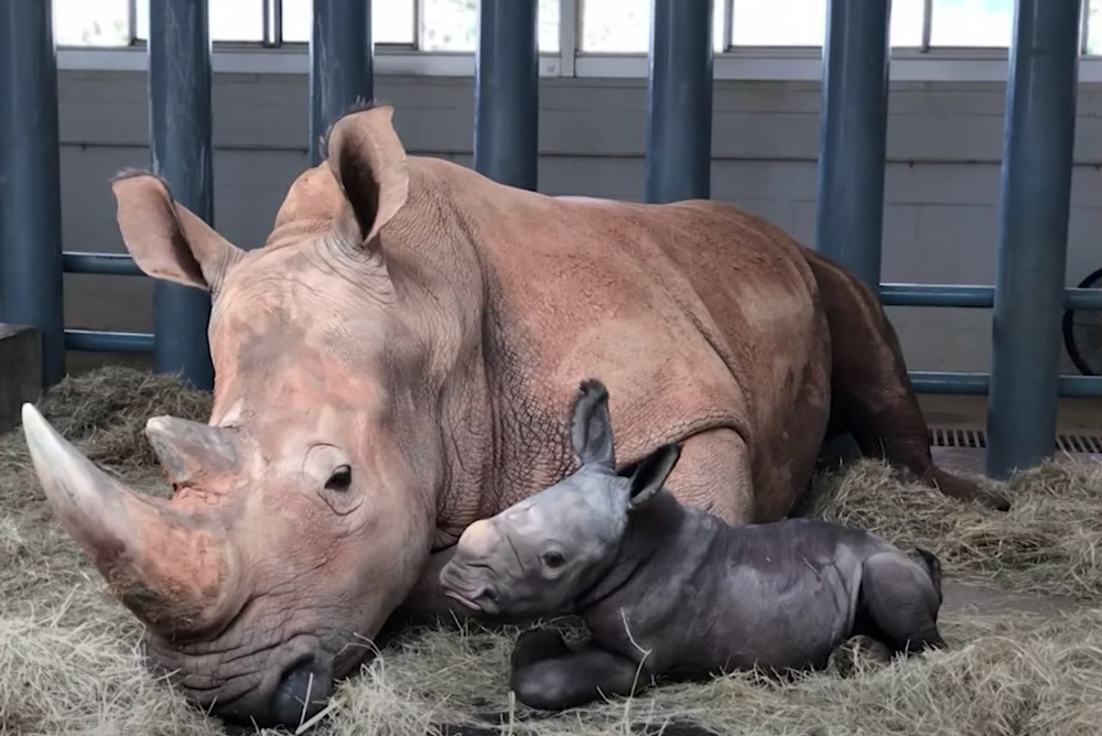 Mother Kendi was pregnant for 16 months before giving birth to the baby rhino.