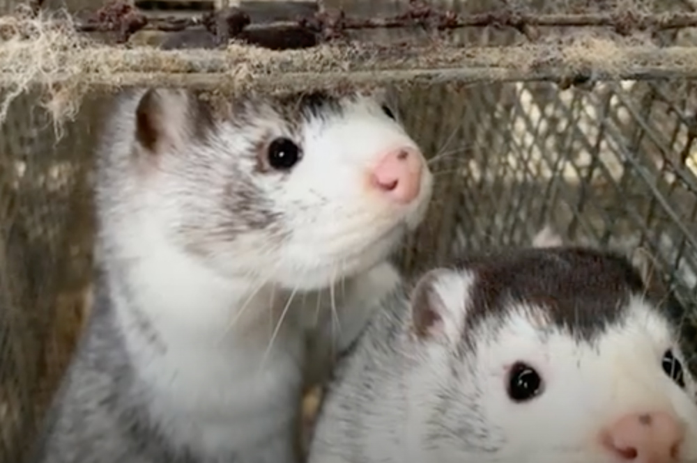 Denmark is the world's largest producer of mink.