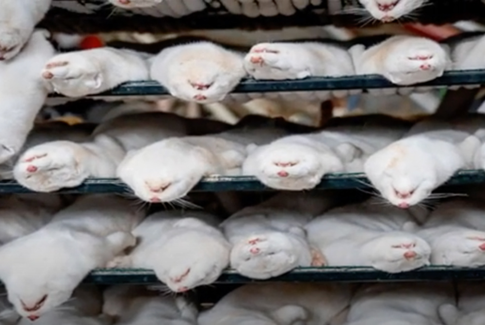The Danish government intends to kill 15 million more mink and bury them in mass graves.