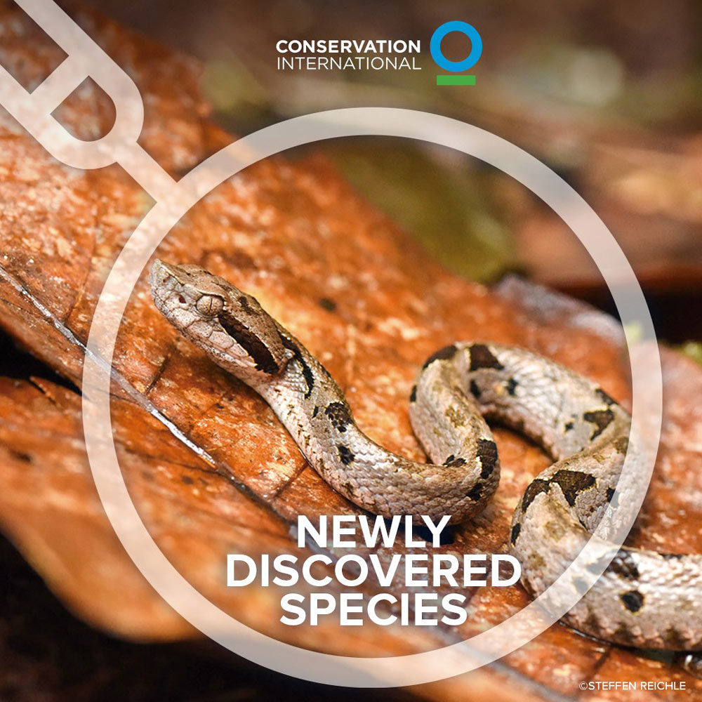This new species of venous pit viper uses heat-sensing pits on its head to detect prey.