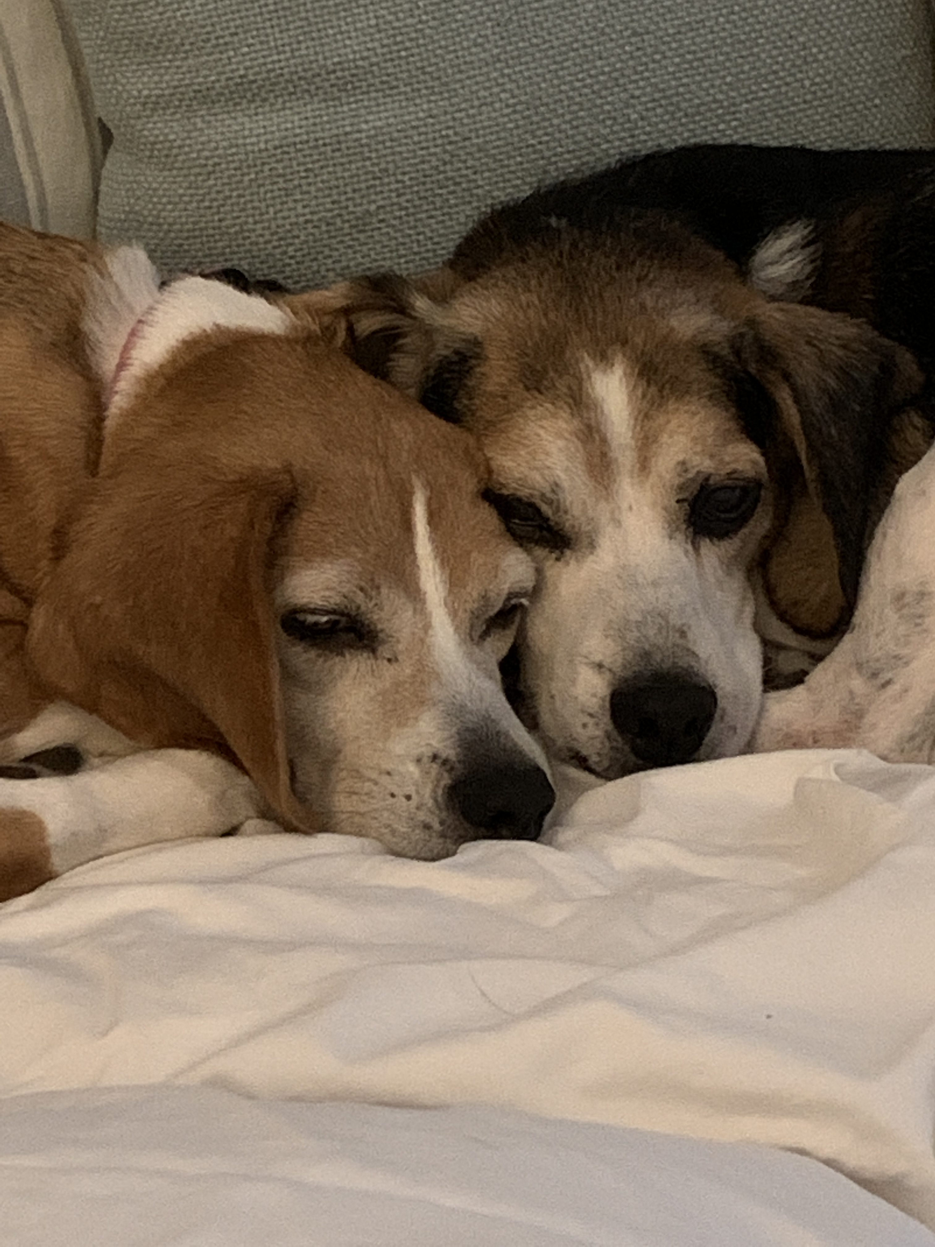 rescue beagle adopted forever home