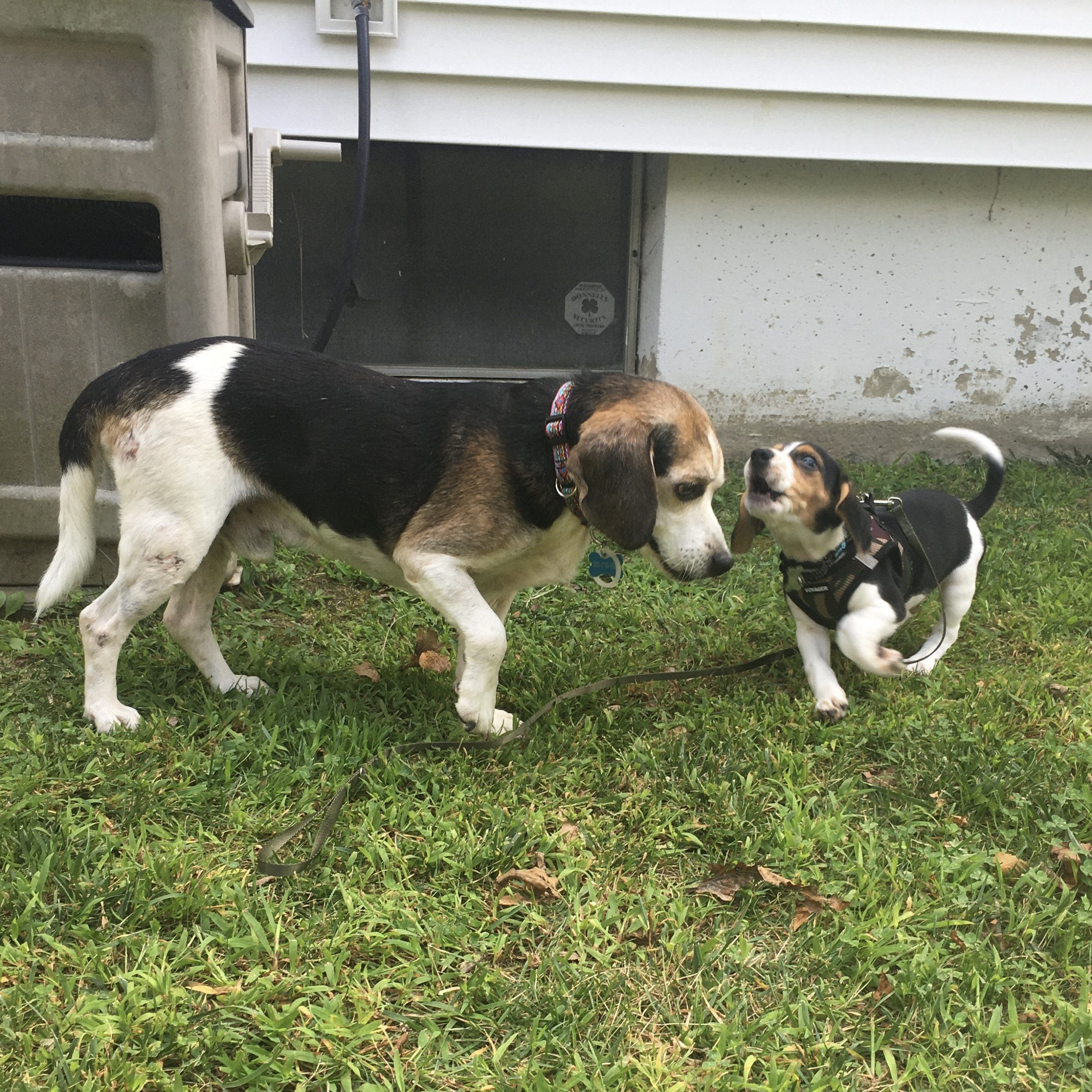 beagle rescue adopted forever home