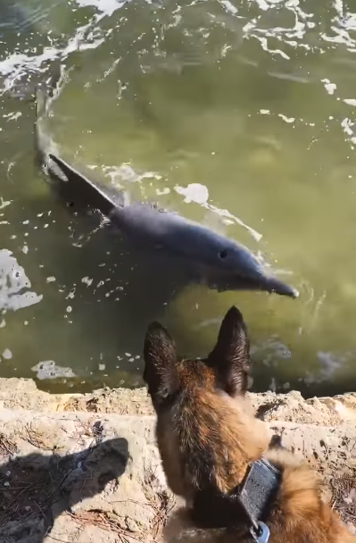 Australian Police Dog Makes Friends With Two Wild Dolphins