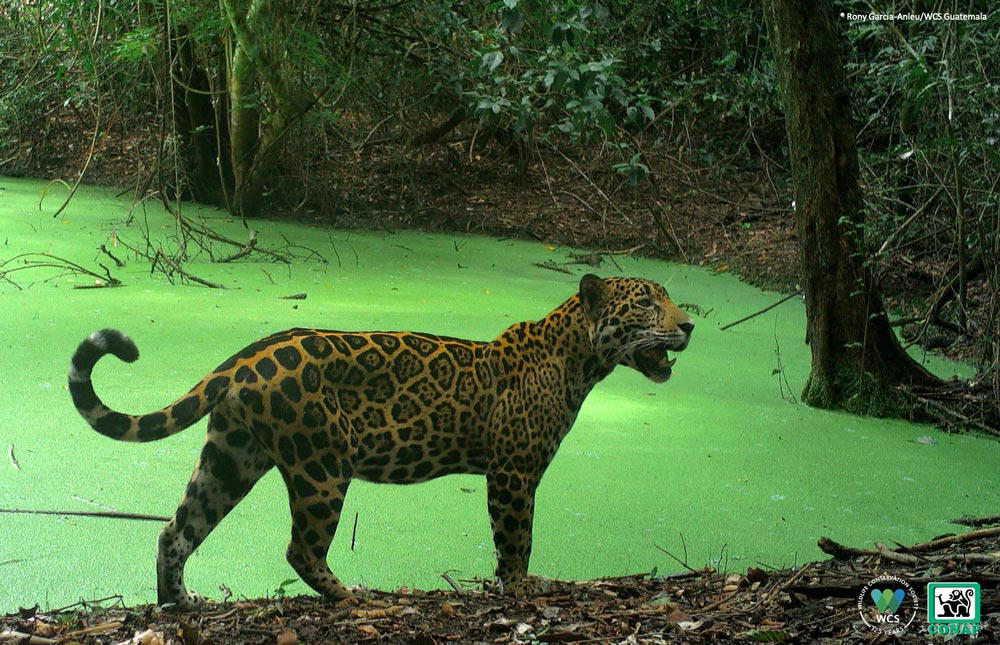 This stunning image of a jaguar (Panthera onca) in a watering hole was taken in Laguna del Tigre National Park in August by a camera trap deployed by WCS conservationists. It was part of a survey for the evaluation of jaguar density and biodiversity of the park.