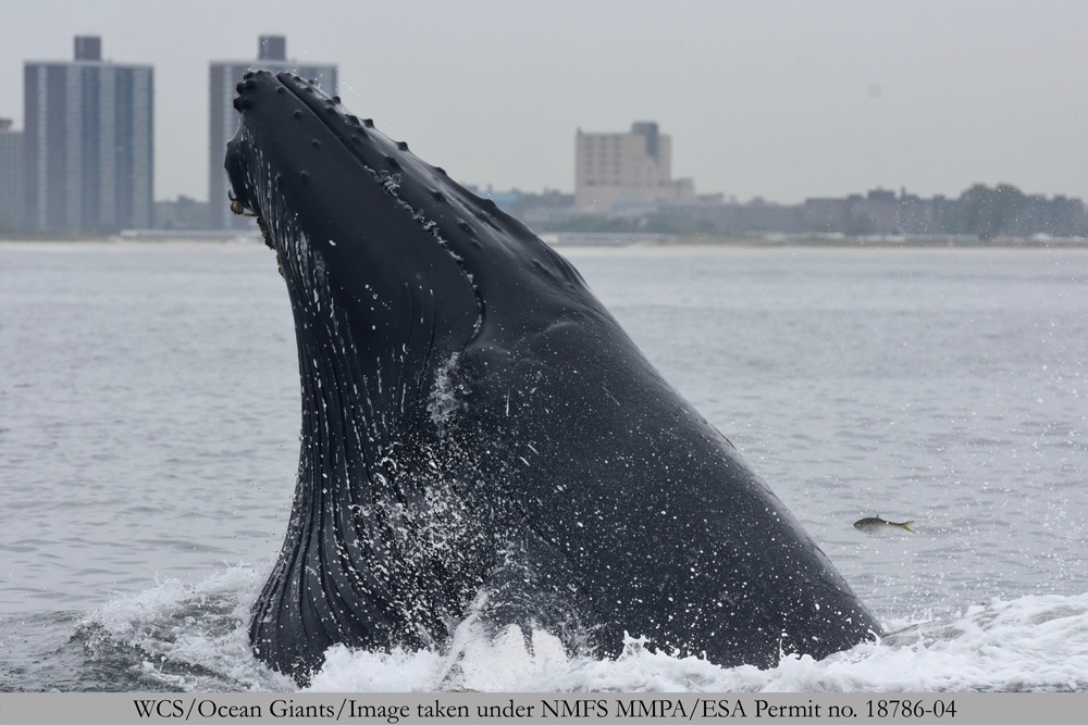WCS's Ocean Giants team captured this amazing moment of a humpback whale lunge feeding off New York City, and one member of the schooling fish (Atlantic Menhaden) that seemingly managed to escape for the moment.