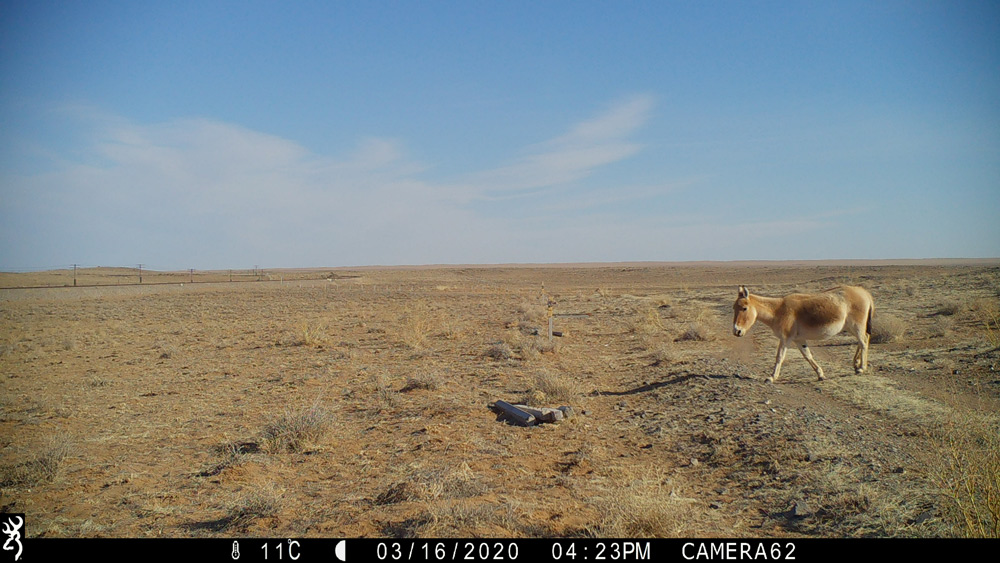 The WCS Mongolia Program released this photo in June showing a single Asiatic wild ass or khulan (Equus hemionus hemionus) crossing a previously impenetrable barrier along the Trans Mongolian Railroad – the first known crossing by this near-threatened species into the eastern steppe in 65 years. The crossing was part of the new Trans Mongolian Railroad 'Wildlife Friendly' Fence Corridor, a project that creates simple modifications to existing fence designs that run the length of the railroad.