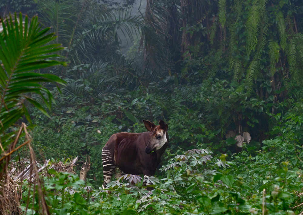 In November, a WCS staff member took this beautiful image of an okapi (Okapia johnstoni) in the Okapi Wildlife Reserve (OWR) in Democratic Republic of Congo. Okapi are rarely seen in the wild; good pics of them are ever rarer. WCS manages OWR and works to protect it from illegal mining, bushmeat hunting, and habitat loss from illegal settlements.