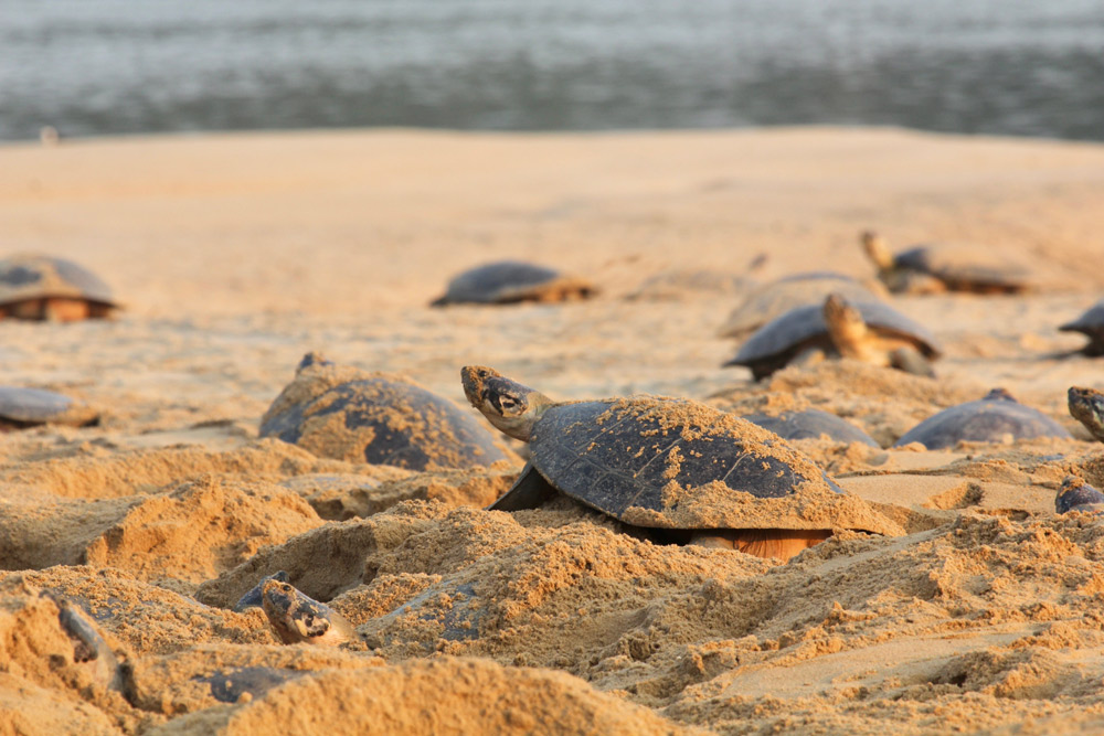 Last month, WCS documented a mass hatching event of Amazon giant river turtles (Podocnemis expansa) from a protected area in Brazil where up to 100,000 hatchlings emerged from their nests and headed for the Purus River. Months earlier, hundreds of adult females dug their nests along sandbars to lay their eggs.