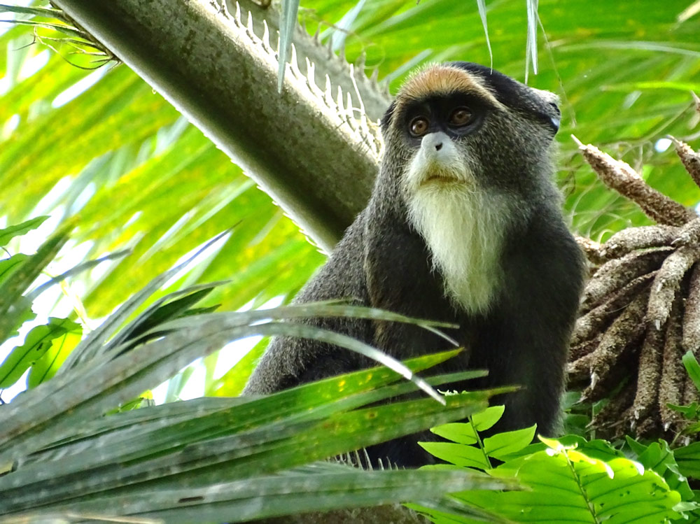 A Debrazza's monkey (Cercopithecus neglectus) photographed near the park headquarters of the Okapi Wildlife Reserve in Democratic Republic of Congo.  Eighteen primates live in this vast protected area, which WCS manages.