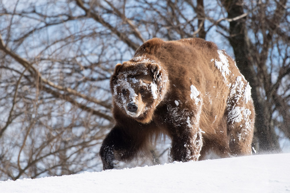 Following the first major snowstorm of the season, the brown bears (Ursus arctos) at the Bronx Zoo explored their expansive exhibit while digging and rolling in more than a foot of snow. All of the brown bears at the zoo are rescues that were orphaned in the wild as cubs and would not have survived on their own.