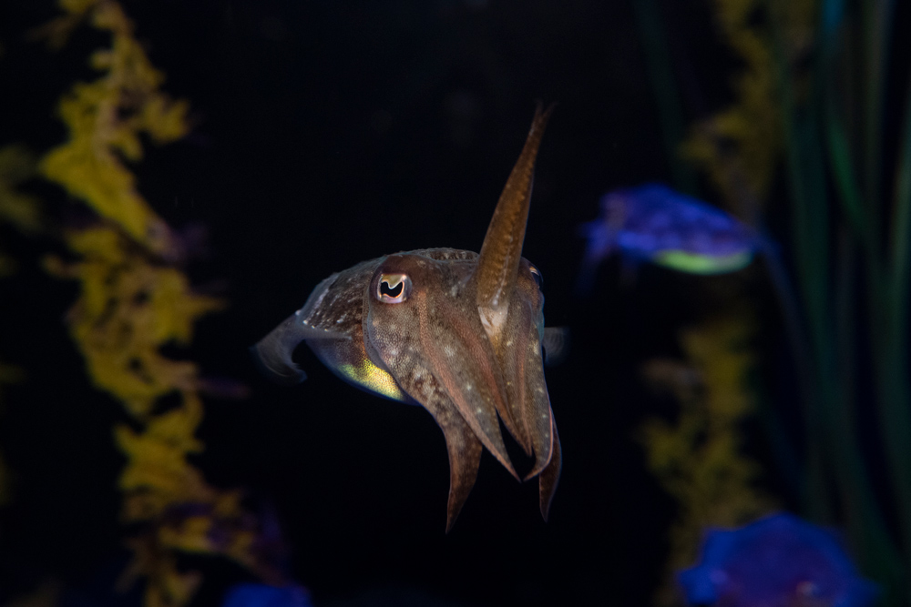 The New York Aquarium opened a new exhibit in 2020. Spineless features marine invertebrate species including several species of jellyfish, Japanese spider crabs (Macrocheira kaempferi), and giant pacific octopus (Enteroctopus dofleini). This photo of a common cuttlefish (Sepia officinalis) received an honorable mention in the Association of Zoos and Aquariums' national photo contest.