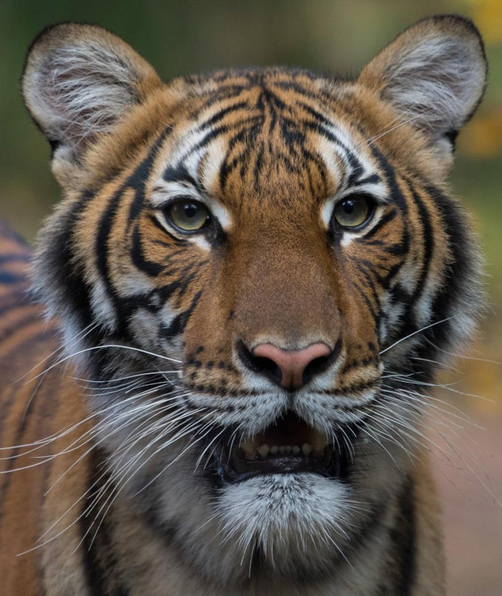 Nadia, a Malayan tiger (Panthera tigris jacksoni), was the first of 8 big cats (five tigers, three lions) at the Bronx Zoo to test positive for COVID-19. All of the cats have fully recovered. This portrait of Nadia was featured in news outlets around the world.
