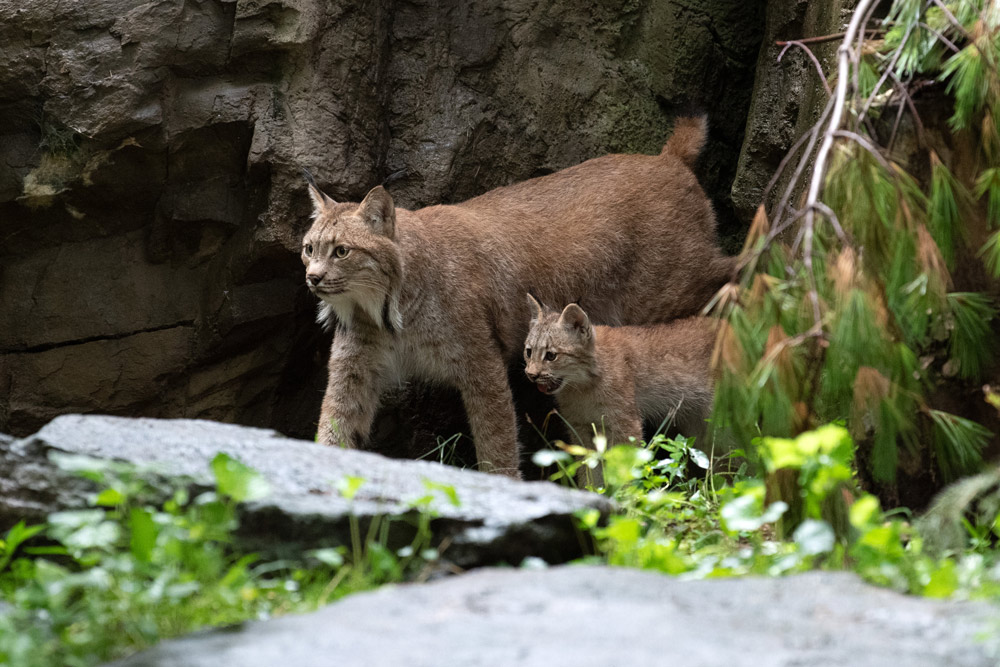The Queens Zoo welcomed three Canada lynx (Lynx Canadensis) cubs this summer. This photo of the lynx mom and one of her cubs was taken as the cubs began venturing out and exploring their habitat.
