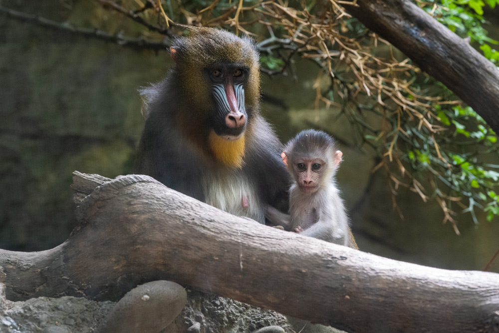 A mandrill (Mandrillus sphinx) and her baby sit in the Bronx Zoo's Congo Gorilla Forrest. The Bronx Zoo has a successful mandrill breeding program that has produced many offspring as part of the AZA's Species Survival Plan, a cooperative breeding program between accredited zoos that works to ensure genetic diversity in zoo populations.