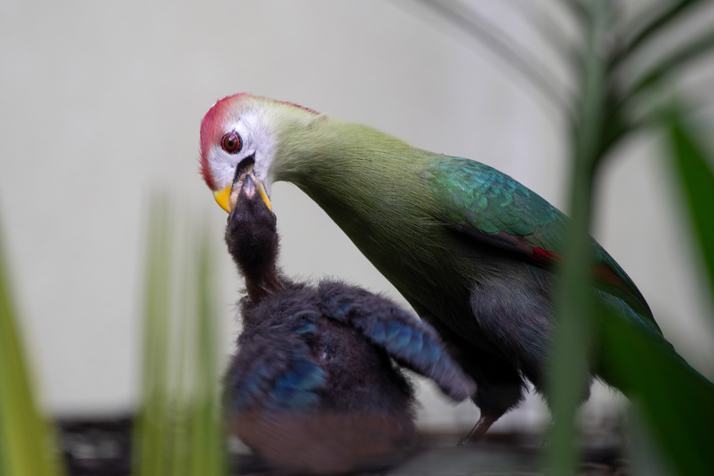 A rare hatching at the Bronx Zoo, this red-crested turaco (Tauraco erythrolophus) tends to her chick in the World of Birds. This Asian species is immediately recognizable with its green body, long tail and prominent red crest.