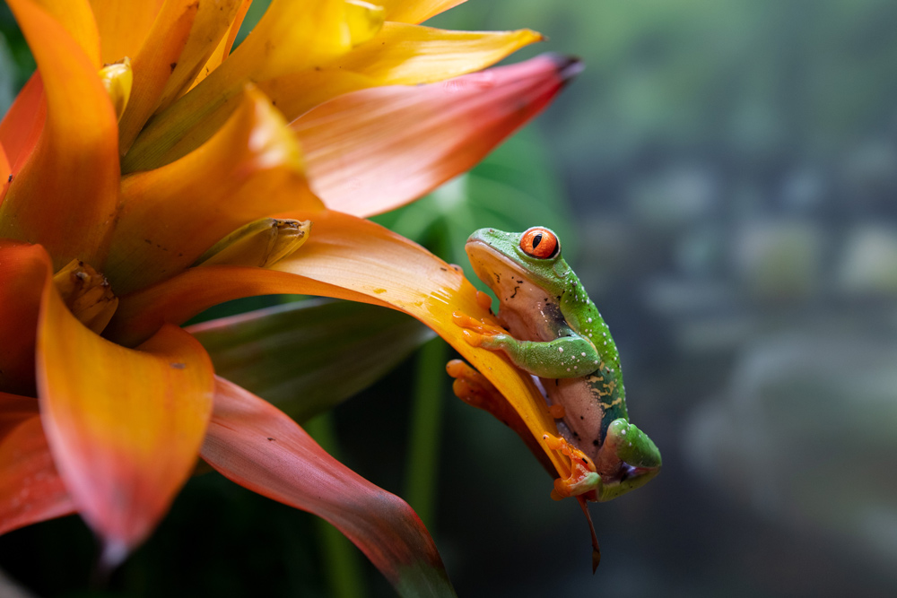 This red-eyed tree frog (Agalychnis callidryas) clings to a flower growing within its exhibit in the World of Reptiles at the Bronx Zoo. The beauty of the flower against the vibrant green skin and characteristic red eyes of the frog create one of the most colorful pictures of 2020.