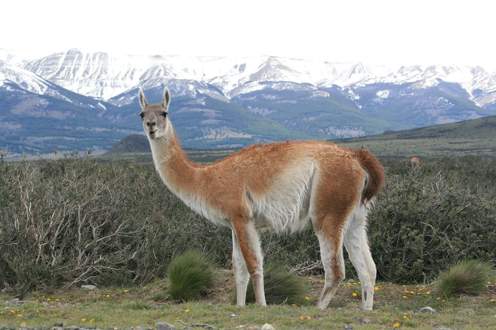Guancos, a type of South American llama, migrate throughout Argentina.