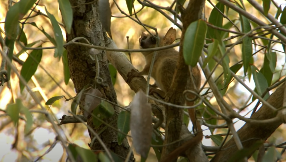 The Jonah's mouse lemur was discovered in Madagascar.