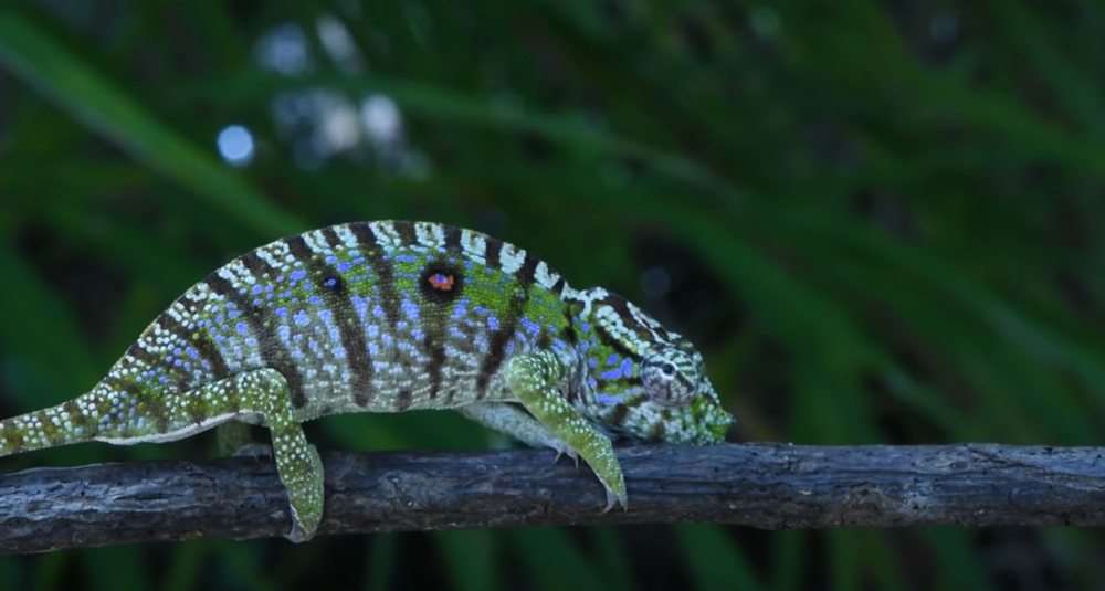This chameleon was discovered in Madagascar.