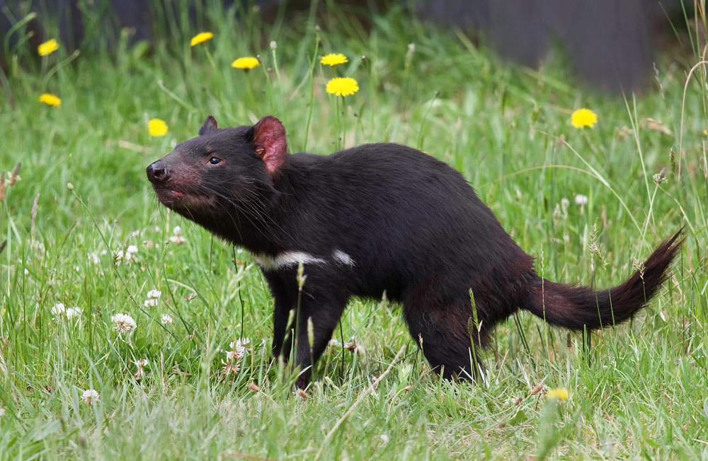 Tasmanian devils disappeared from the Australian mainland about 3,000 years ago.