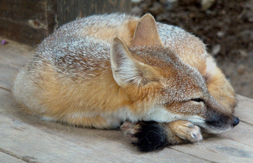 The Swift fox was declared extinct in Montana in 1969.