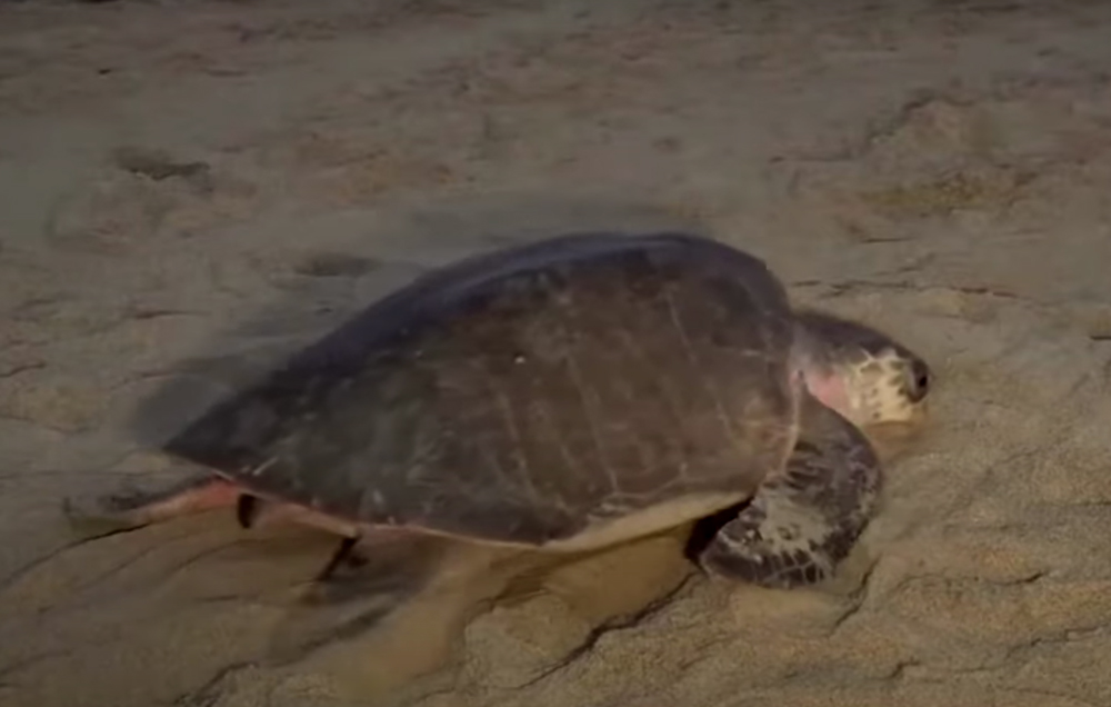 An Olive Ridley sea turtle makes its way across a beach in Costa Rica.