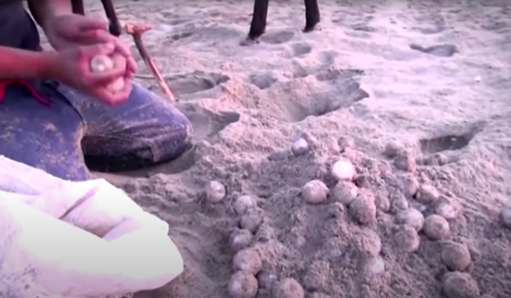 Poachers are responsible for destroying en estimated 90% of all turtle eggs.