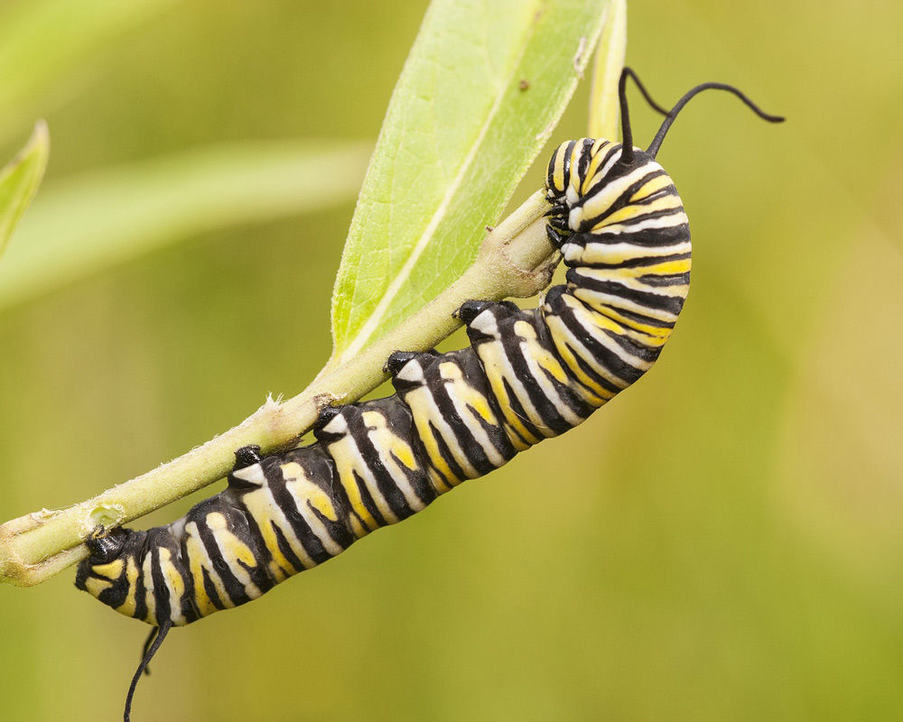 With monarchs and milkweed in decline, new research is hoped to show how to save these species.