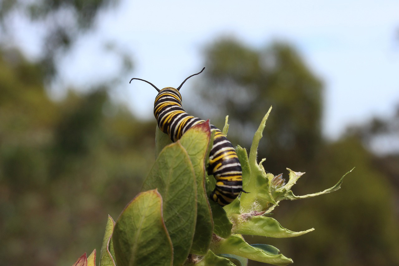 Monarch caterpillars will bump into each other when fighting for food.