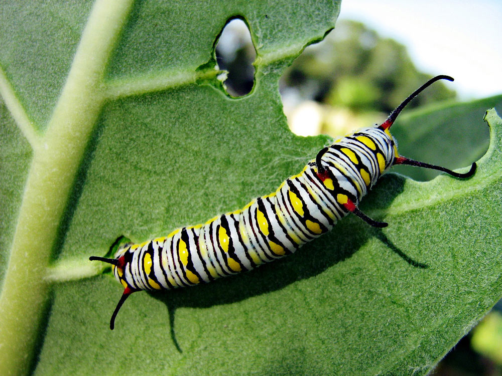 As caterpillars, monarchs can be aggressive.