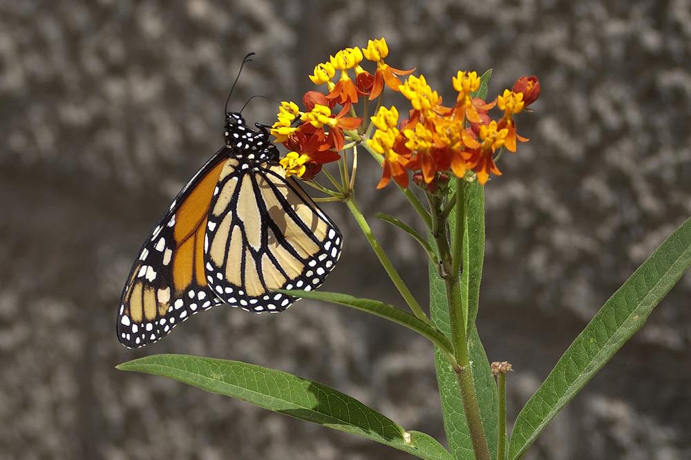 Monarch butterflies are in rapid decline.
