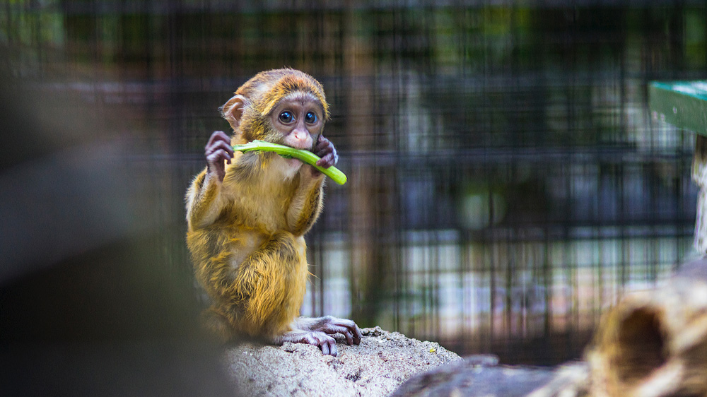 Hundreds of monkeys are illegally smuggled each year, then sold to zoos, as pets, or for meat.